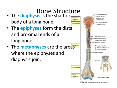 small resolution of bone structure the diaphysis is the shaft or body of a long bone the epiphyses form the distal and proximal ends of a long bone
