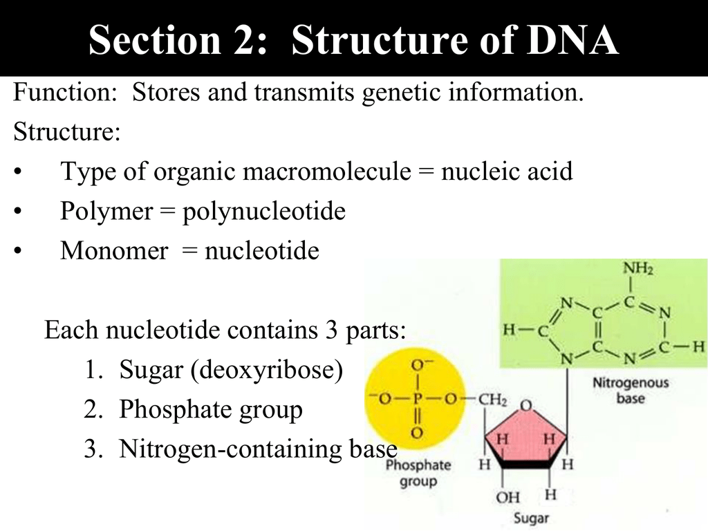 Nitrogenous Bases In Dna Function