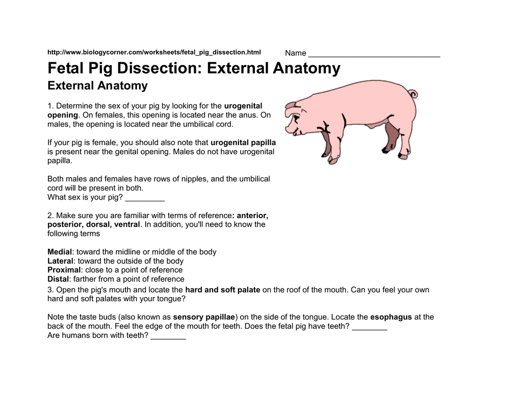 Fetal Pig Dissection External Anatomy External Anatomy