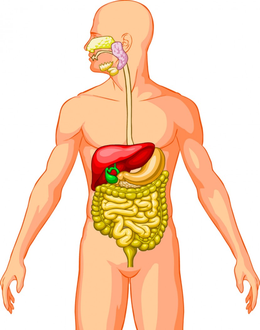 medium resolution of male digestive tract diagram