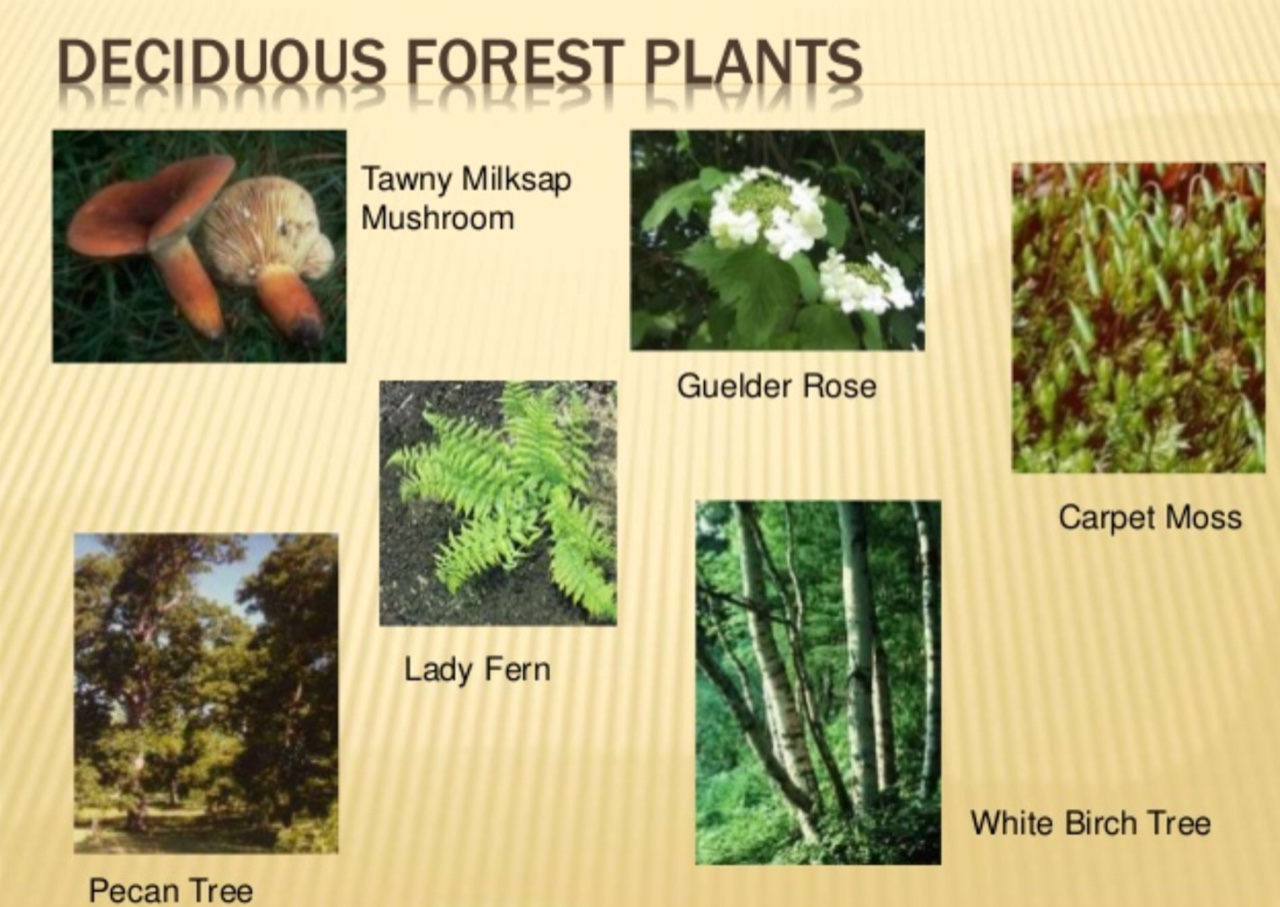 Carpet Moss Adaptations Deciduous Forest