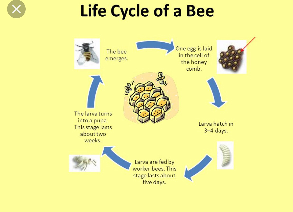 diagram of a queen bee 2016 ford f150 horn wiring bees life cycle topsimages