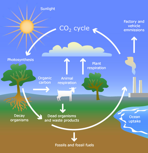 the carbon cycle diagram gcse 1999 mercury cougar radio wiring dioxide