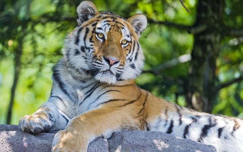 Mga uri ng tigre  Mga larawan, paglalarawan