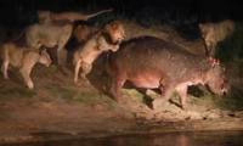 Видео: Целый прайд львов не смог повалить даже истощенного бегемота