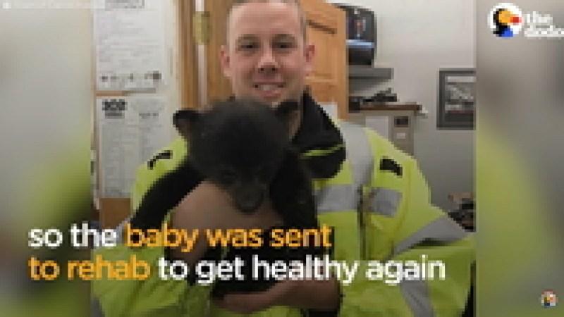 Видео: Полицейский пытается помочь медведице перевести малышей через дорогу