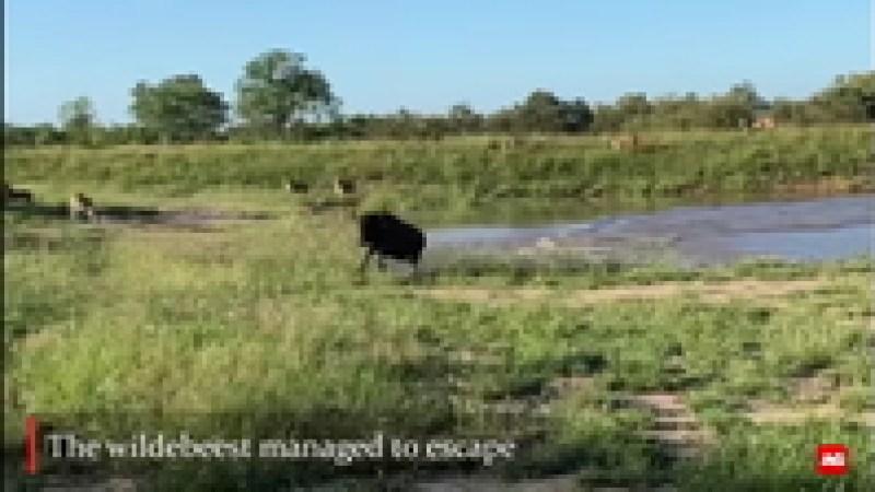 Видео: Антилопа совершила невозможный прыжок, буквально пролетев над львицами