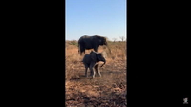 Видео: Маленький слоненок пытается изобразить грозный вид и напугать людей