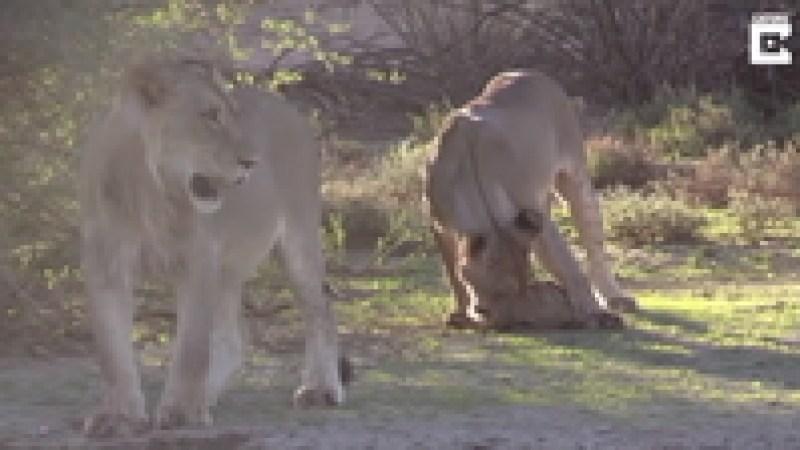 Видео: Львицы пытаются придумать, как съесть черепаху