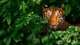 Tigre fugitivo [2017]