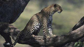Cazadores de África: La última batalla del leopardo (2017)