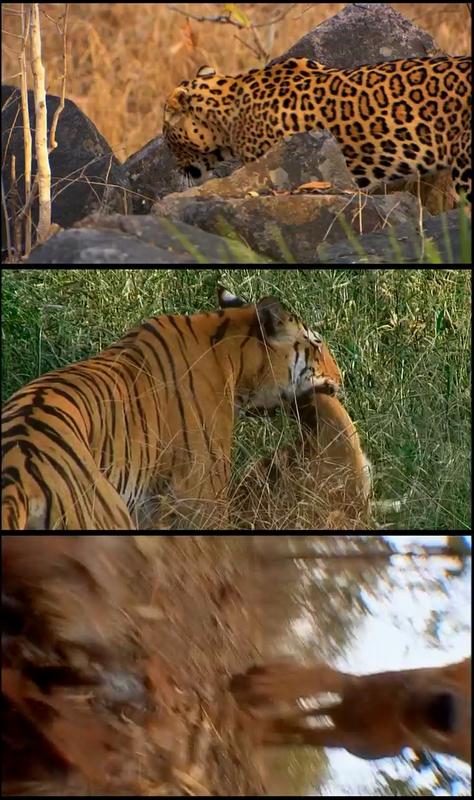 Tiger – Un espía entre los tigres [2011] [3/3] [BBC EARTH] [DVDRip]