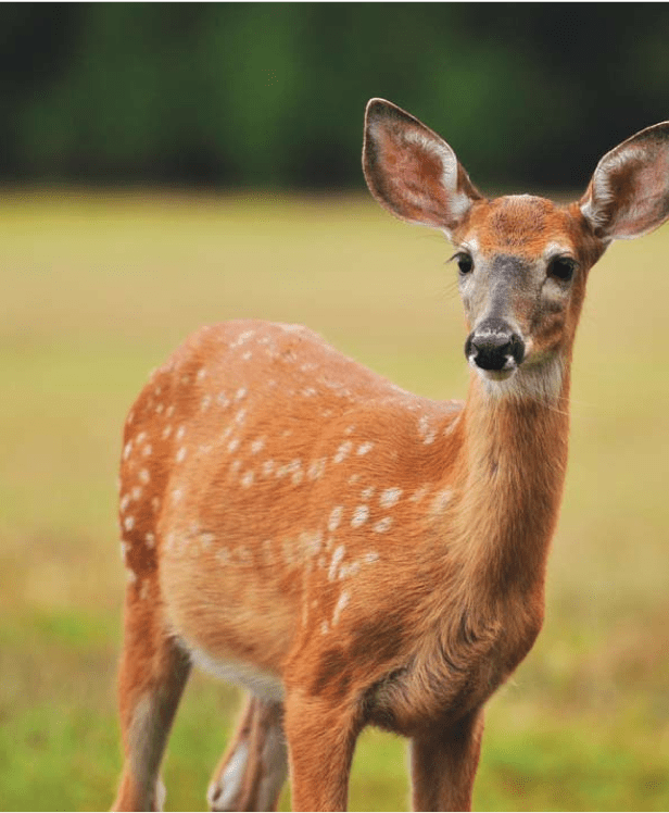 How Long Are Whitetail Deer Pregnant For : whitetail, pregnant, Precocious, Fawns:, Advanced, Fawns, Typically, Become, Superior, Adults, Hunting