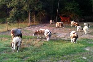 Farm Flock