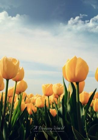 Những Cánh Đồng Hoa TuyLip Ngào Ngạt Hương Thơm