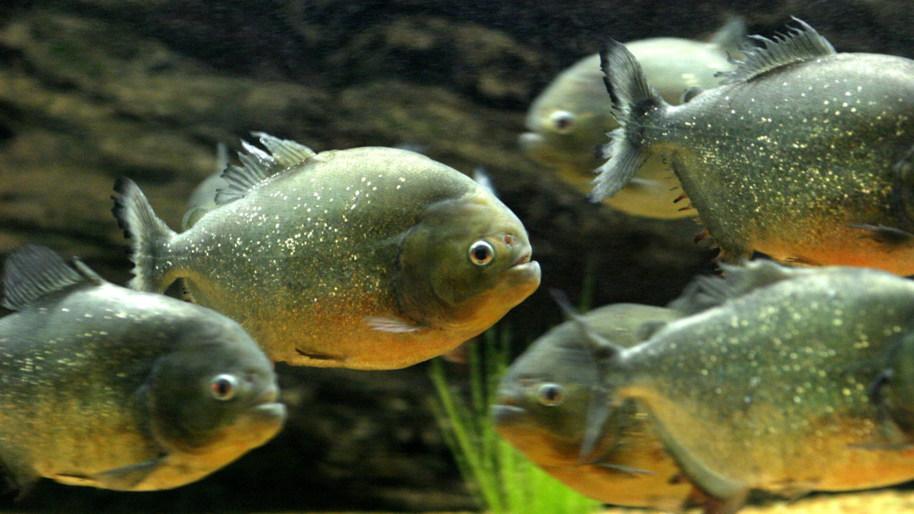 Red-Bellied Piranha - The Houston Zoo
