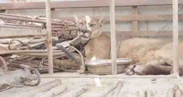 Mountain Lion Chained Up For 20 Years Finally Experiences Freedom AwesomeJellycom