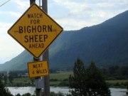 Bighorn Sheep sign