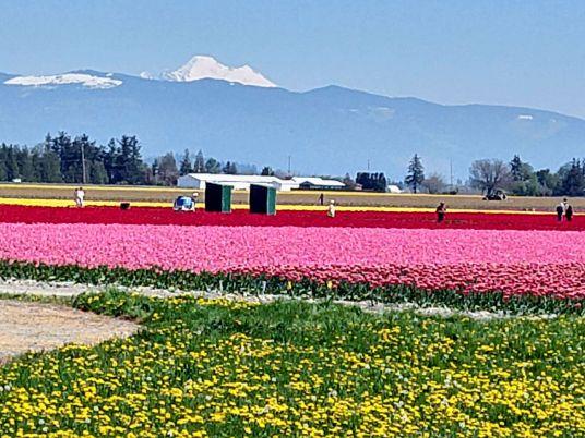 Mt Baker at Skagit Tulip