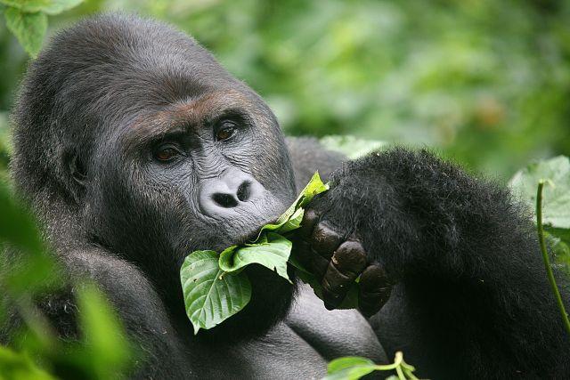 Gorilla beringei (Eastern Gorilla) IUCN red list