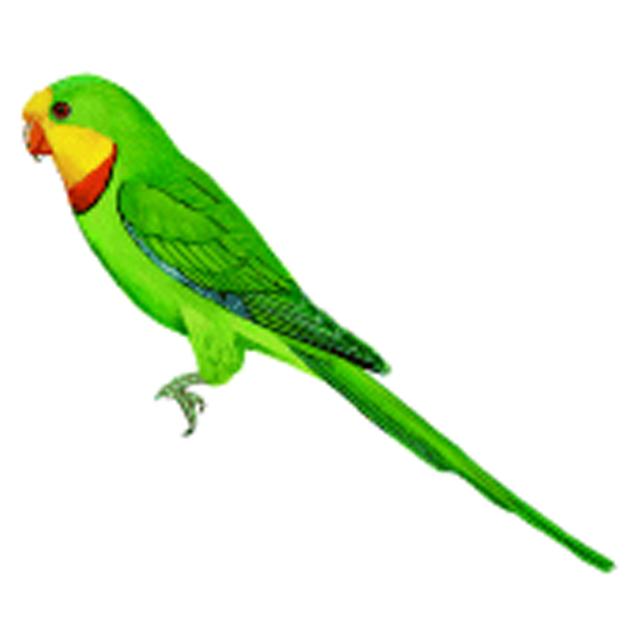 polytelis swainsonii superb parrot