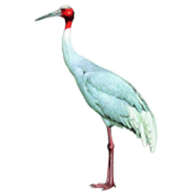 antigone antigone sarus crane