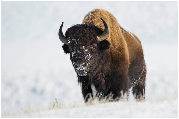 bison bison american bison