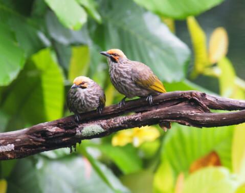 ヒヨドリの生態、特徴、巣の対策方法   Petpedia