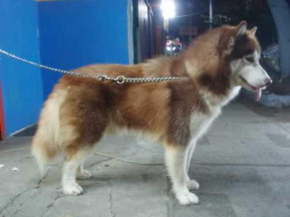 Pejantan Siberian Husky Long Hair di Jakarta