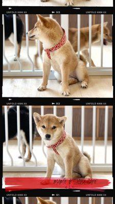 跟10隻豆柴近距離互動!香港首間柴犬café進駐銅鑼灣 | Marie Claire (HK) Edition