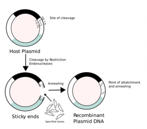 Process Involved in Recombinant DNA Technology