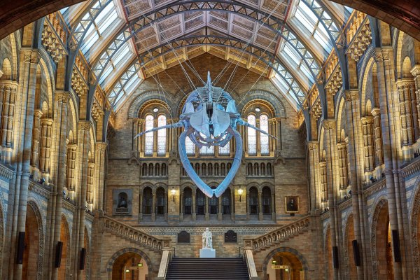 Blue Whale Natural History Museum London