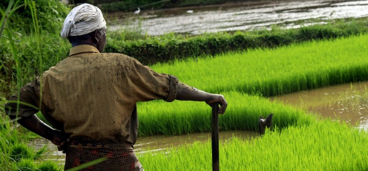 A farmer standing in front of a rice paddy full of water.