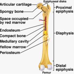 Human Skeleton And Muscles Diagram Leg Muscle Labeled Anatomy Physiology Figure 1 Long Bone Structure