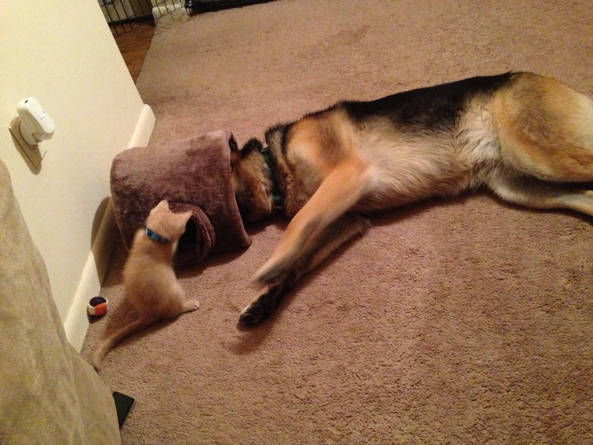 Cute Dog Stretching Wallpaper 18 Of The Most Insanely Awkward German Shepherd Sleeping