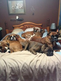 16 Of The Weirdest But Truly Wonderful Boxer Sleeping ...