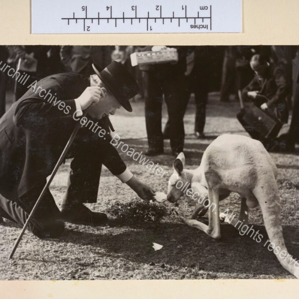 "Photo shows WSC kneeling down to feed an albino kangaroo [""Digger"" a gift from the Australian Stockbreeders' Association]. WSC is wearing a suit and hat and has a cigar in his mouth."