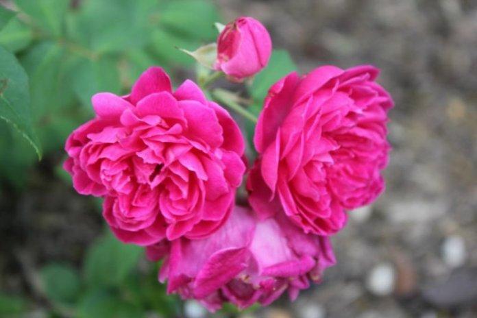 ClioMakeUp-rossetto-rosa-indiano-castane-more-migliore-colore-fiore