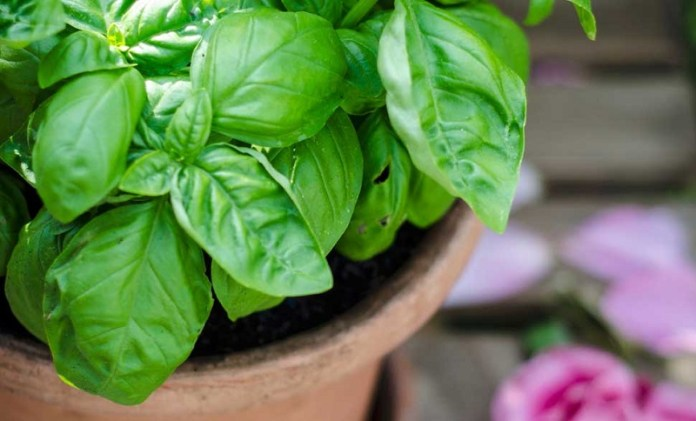 cliomakeup-cucinare-erbe-spezie-11-pianta-basilico