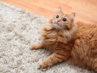 Pet Odour Remover   Get Rid of Cat Urine Smell   Cleanipedia