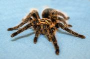 curly hair tarantula fun facts