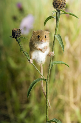 Harvest Mouse Micromys Minutus Standing On Knapweed In A