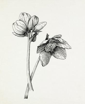 Helleborus niger by Graham Stuart Thomas at Royal