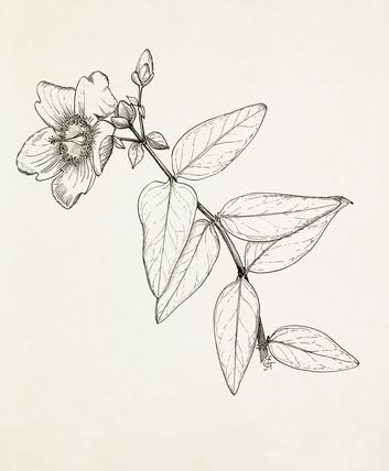 Hypericum 'Hidcote' by Graham Stuart Thomas at Royal
