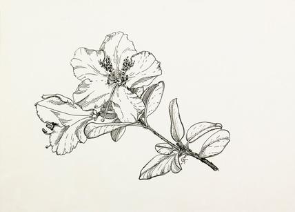 Rhododendron moupinense by Graham Stuart Thomas at Royal