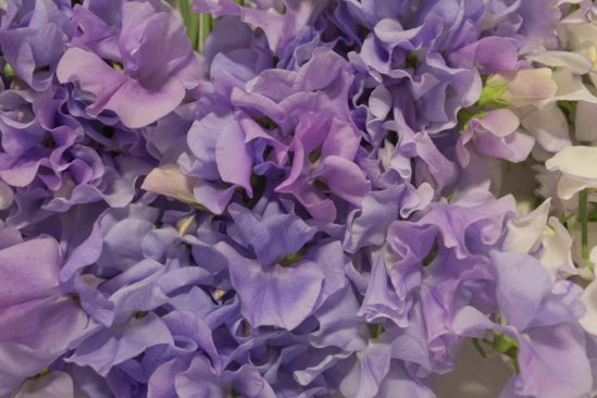 Image result for covent garden sweet peas lavender