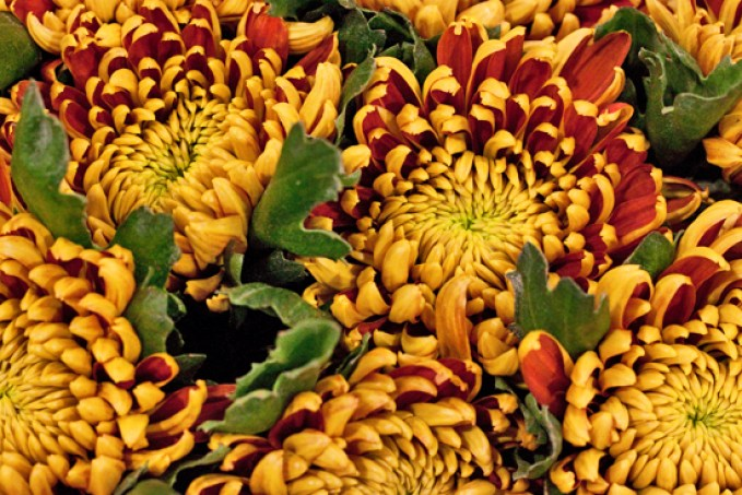 Image result for chrysanthemum tom pearce