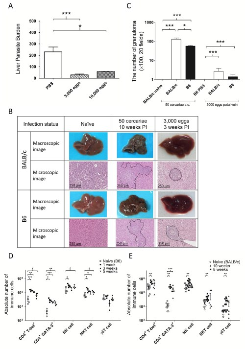 small resolution of liver immunopathology in schistosoma mansoni cercariae infection and intraportal infusion of frozen s mansoni eggs