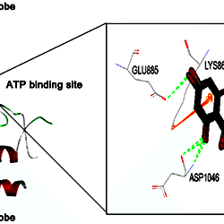 ISL interacted with the ATP-binding site of VEGFR-2 kinase