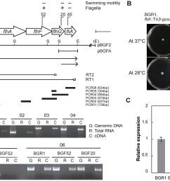genetic organization of flhbafg and flia genes and flhf gene expression at 28 c  [ 2000 x 1410 Pixel ]